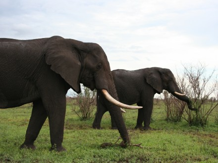 cape town elefanter