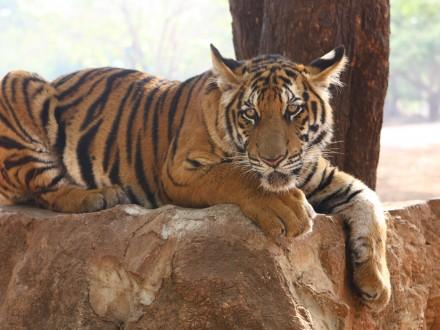 cha am tiger